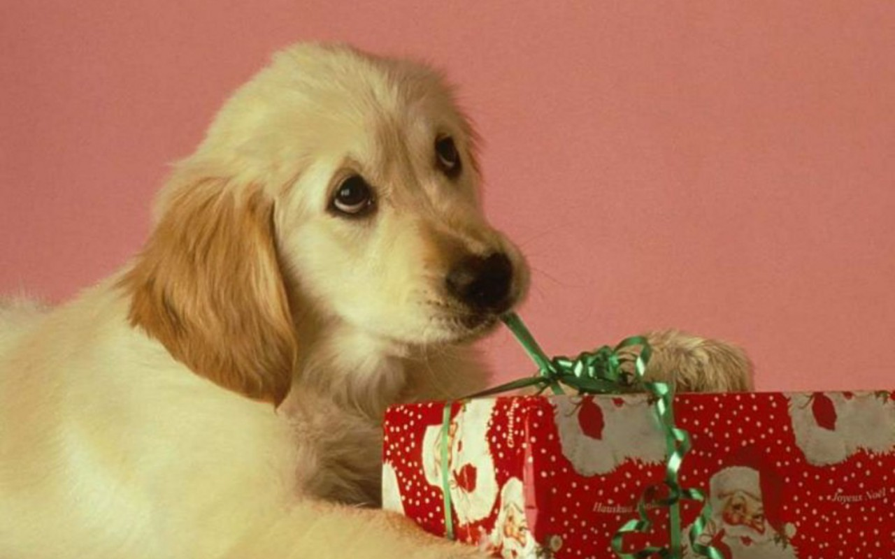 Christmas-Puppy-puppies-15897188-1280-800